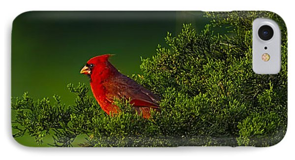 Male Cardinal In Pine Tree IPhone Case