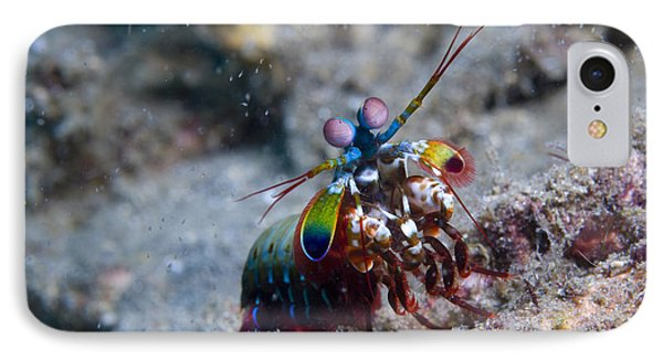 Close-up View Of A Mantis Shrimp, Papua IPhone Case