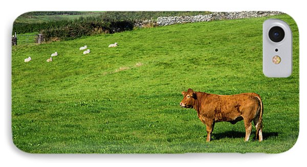 Cow In Pasture IPhone Case