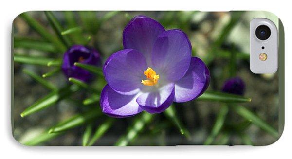 Crocus In Bloom #1 IPhone Case