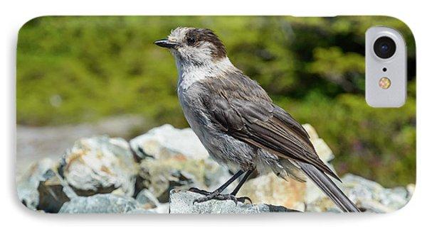 Gray Jay, Canada's National Bird IPhone Case