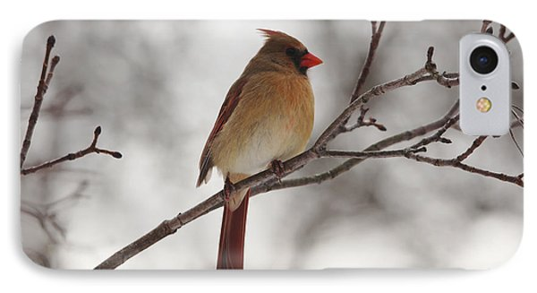 Perched Female Red Cardinal IPhone Case