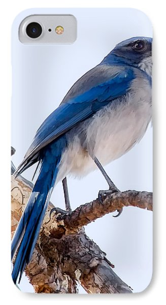Western Scrub-jay IPhone Case