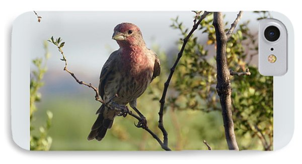 Young Male House Finch IPhone Case