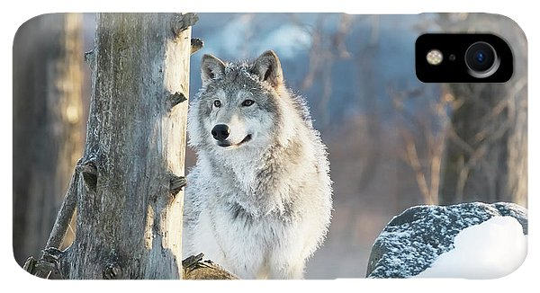 Winter iPhone XR Case - Female Gray Wolf  Canis Lupus by Doug Lindstrand