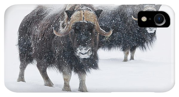 Winter iPhone XR Case - View Of A Pair Of Muskoxen Bulls by Doug Lindstrand