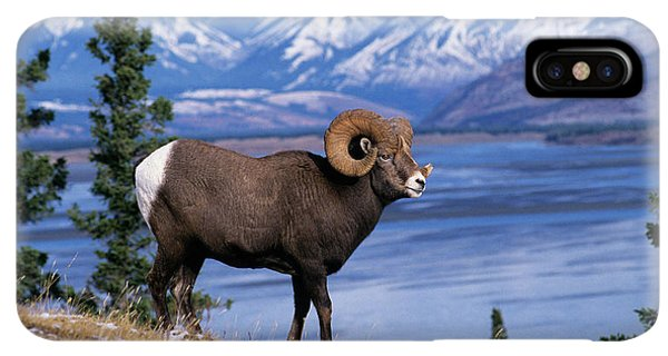 Rocky Mountain Bighorn Sheep iPhone XS Max Case - Rocky Mountain Bighorn Ovis Canadensis by Animal Images