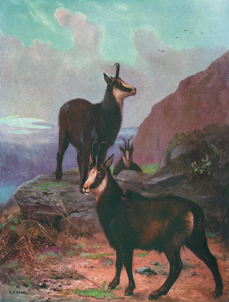 Chamois Up A Mountain  (rupicapra Poster