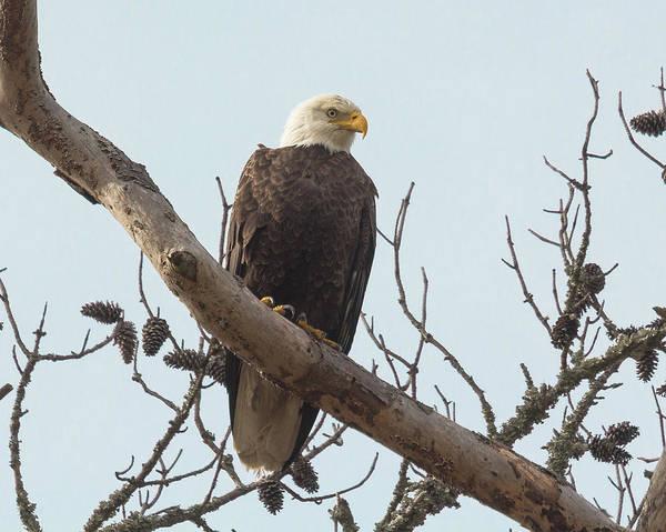 Resting Bald Eagle Poster