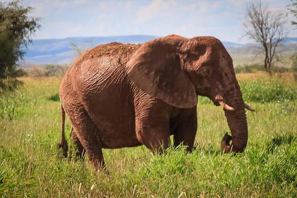 African Desert Elephant Poster
