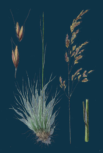 Aira Uliginosa Bog Hair-grass Poster