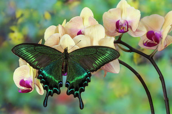 Alpine Black Swallowtail Butterfly Poster