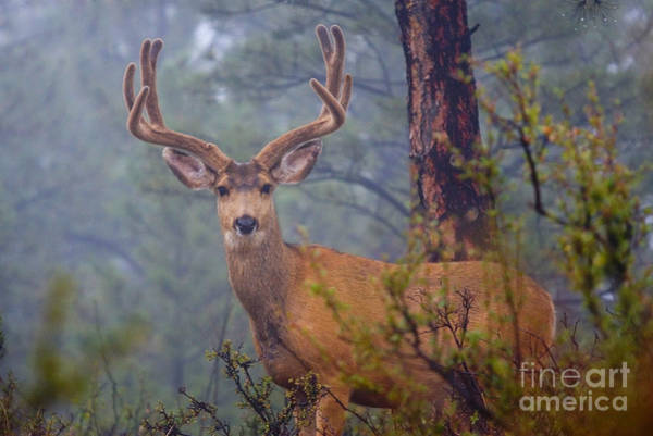 Buck Deer In A Mystical Foggy Forest Scene Poster