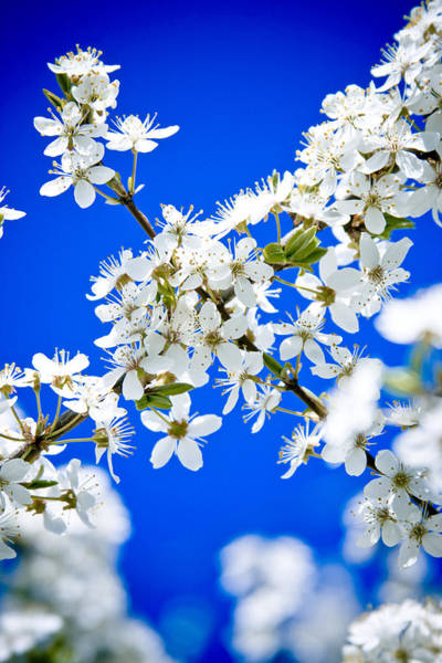 Cherry Blossom With Blue Sky Poster