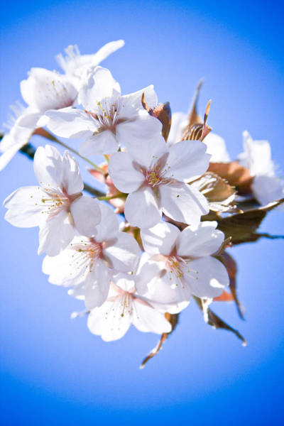 Cherry Tree Blossoms Close Up Poster
