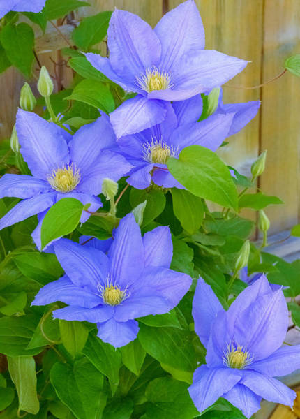 Poster featuring the photograph Clematis  by Garvin Hunter