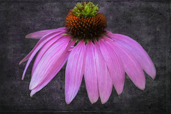 Poster featuring the photograph Cone Flower by Garvin Hunter