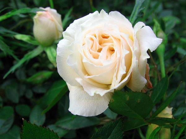 Cream Pot Rose Poster