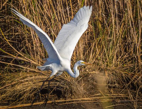 Flying White Egret Poster
