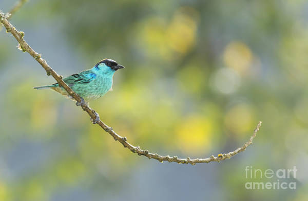 Golden-naped Tanager Poster