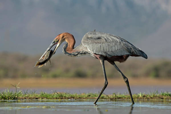 Goliath Heron With Fish Poster
