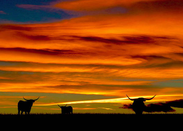 Longhorn Sunset Poster