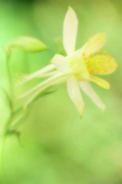 Longspur Columbine (aquilegia Longissima) Poster