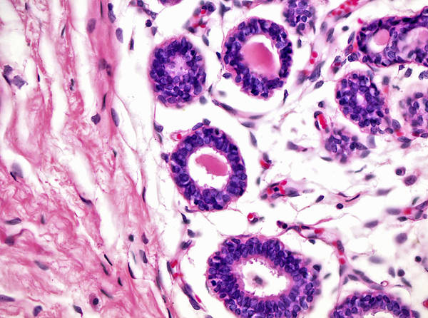 Mammary Gland, Lm Poster