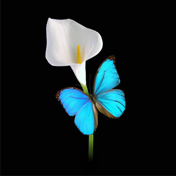 Morpho On Calla Poster