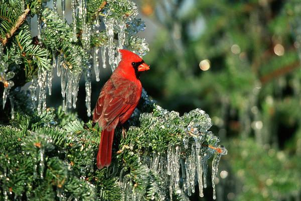 Northern Cardinal (cardinalis Cardinalis Poster