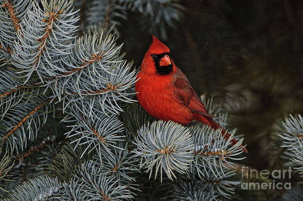 Northern Cardinal In Spruce Tree. Poster