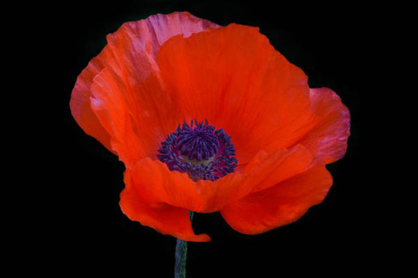 Poster featuring the photograph Poppy  by Garvin Hunter