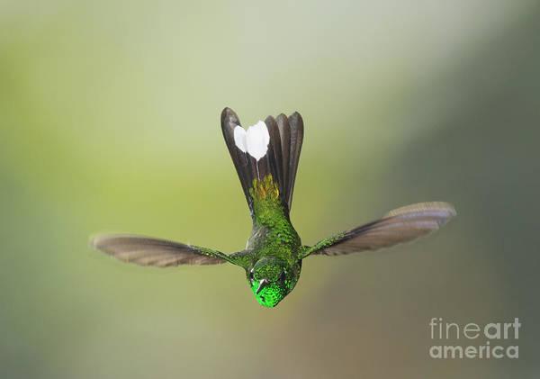 Purple-bibbed White-tip Hummingbird Poster