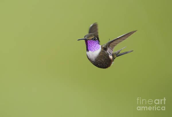 Purple-throated Woodstar Hummingbird Poster