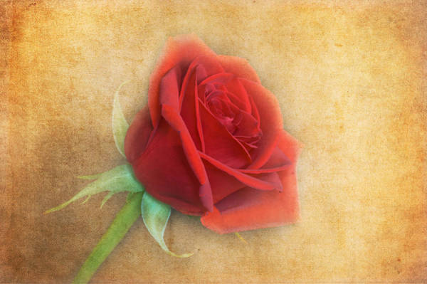 Poster featuring the photograph Red Rose  by Garvin Hunter