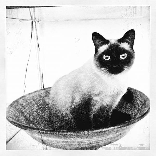 Siamese In A Bowl Poster