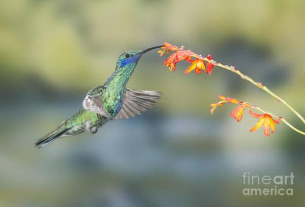 Sparkling Violet-ear Hummingbird Poster