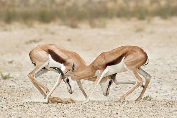 Springbok Males In Territorial Combat Poster