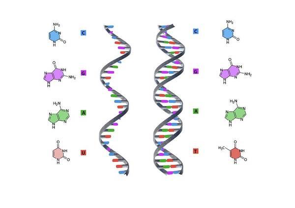 Structure Of Rna And Dna Poster