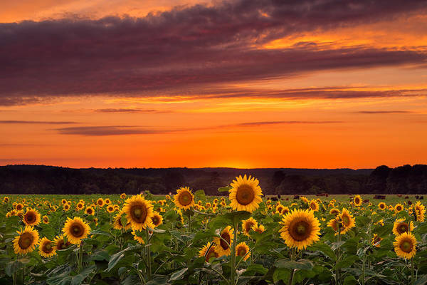 Sunset Over Sunflowers Poster