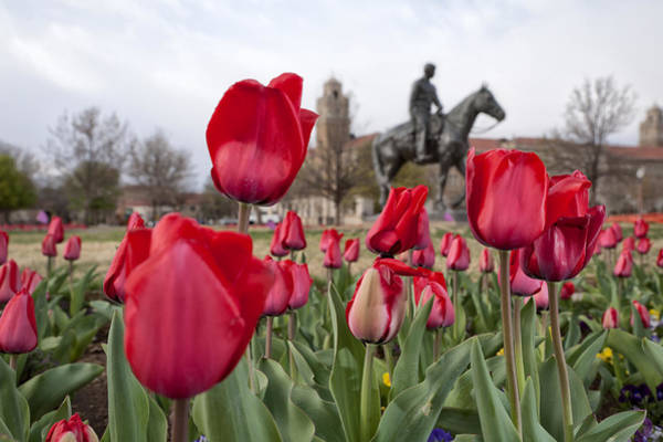 Tulips At Texas Tech University Poster