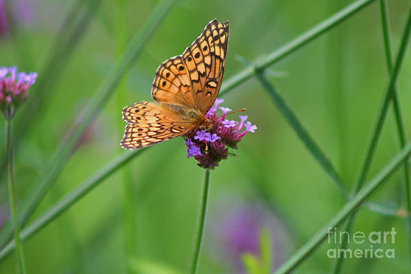 Variegated Fritillary Butterfly In Field Poster