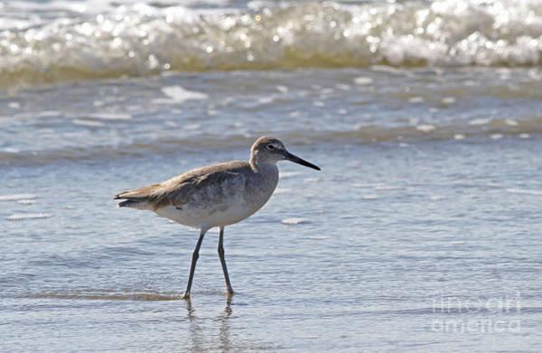 Willet Bird Wading In Ocean Surf Poster