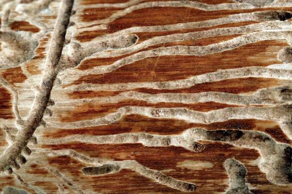 Woodworm Damage Poster