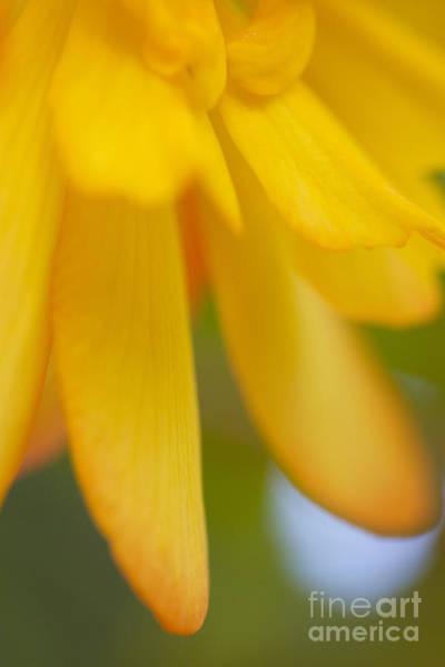 Poster featuring the photograph Yellow Petal by Tad Kanazaki