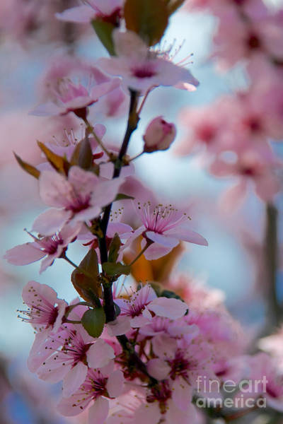 Plum Tree Flowers Poster