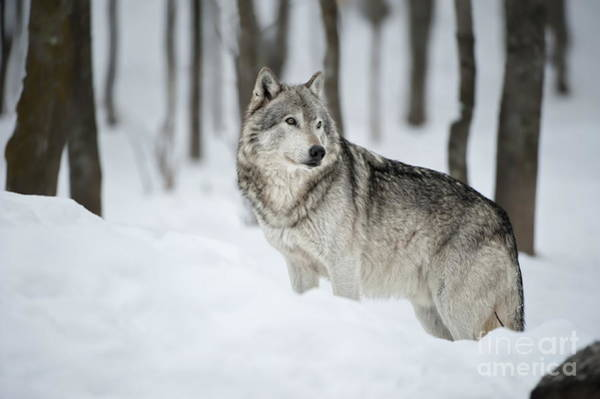 Timber Wolf Pictures Poster