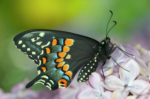 Black Swallowtail Butterfly, Papilio Poster