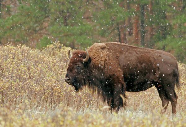 Usa, South Dakota, Custer State Park Poster