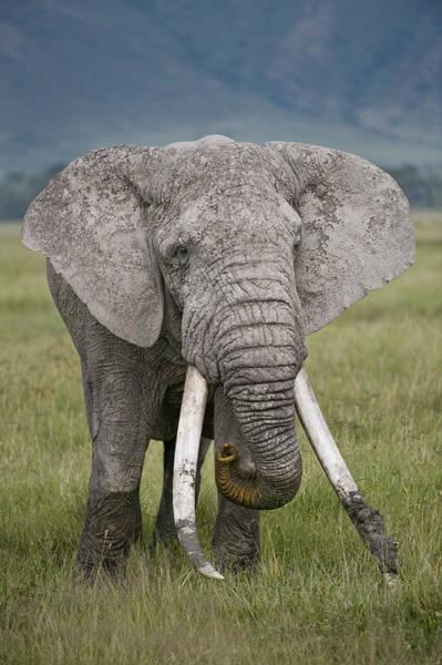 African Elephant Loxodonta Africana Poster